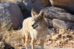 Healthy wild coyote Royalty Free Stock Image