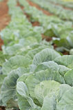 Healthy young cabbage crop on the field Stock Photos