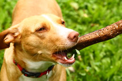 Healthy young dog play with stick Stock Photos