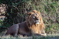 Healthy young lion Royalty Free Stock Images