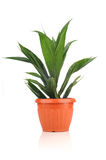 Healthy young oil palm tree in vase Stock Image