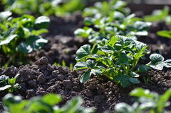 Healthy young potato plant in organic garden. Young potato plant growing on the soil.Potato bush in the garden.Healthy young potato plant in organic garden Stock Image
