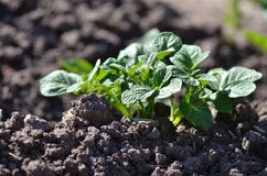 Healthy young potato plant in organic garden. Young potato plant growing on the soil.Potato bush in the garden.Healthy young potato plant in organic garden Royalty Free Stock Photography