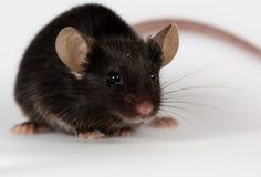Healty chudy myszy Obraz Royalty Free