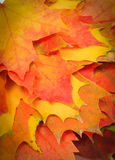 Heap of autumnal maple leaves as background Stock Photos