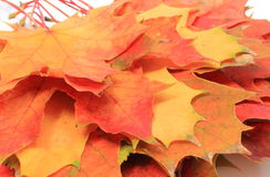 Heap of autumnal maple leaves Royalty Free Stock Photo