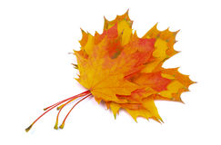 Heap of autumnal maple leaves on white background Stock Image