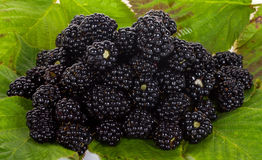 Heap of blackberries on leaves Royalty Free Stock Images