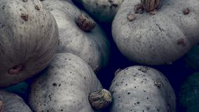 Heap of Blue Kuri Hokkaido Pumpkin, Cucurbita maxima, Zoom Out. Harvest: Heap of Blue Kuri Hokkaido Pumpkin, Cucurbita maxima, Zoom Out royalty free illustration