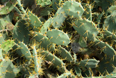 Heap of cactus. Heap of green  cactus with long needle yellow Stock Photo