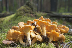 The heap of chanterelles on a moss. Stock Photo