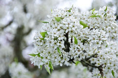 Heap of cherry flowers in Seattle suburb Stock Photography