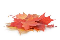 Heap of colorful maple autumn leaves on white Royalty Free Stock Photo