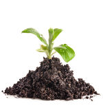 Heap dirt with green plant sprout Royalty Free Stock Images