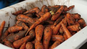 Heap of dirty carrots. In a pan stock footage