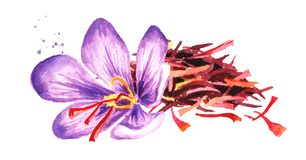 Heap of dried saffron thread with a flower. Watercolor hand drawn illustration,  isolated on white background.  royalty free illustration