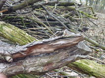 Heap of dry tree branches cut in the wood Royalty Free Stock Image