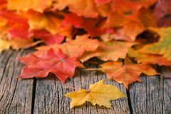 Heap of fall maple foliage on wooden table Royalty Free Stock Image