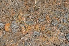 HEAP OF FALLEN PINE CONES. View of dry brown fallen pine cones lying in a heap between pine needles Royalty Free Stock Photos