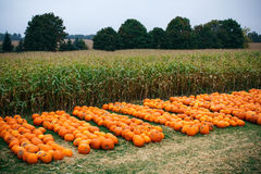 Heap of farm pumpkins on corn field Royalty Free Stock Images