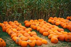Heap of farm pumpkins on corn field Stock Photos