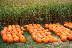 Heap of farm pumpkins on corn fiels Royalty Free Stock Photography