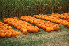 Heap of farm pumpkins on corn fiels Royalty Free Stock Photos