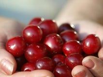 Heap of Fresh Cherry Fruits Stock Photo