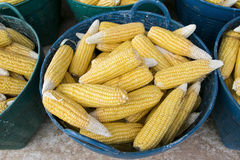 Heap of fresh corns in basket Royalty Free Stock Photography