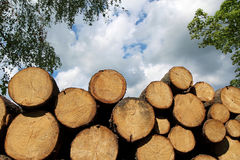 Heap of fresh cut wood trunk in forest Stock Photography
