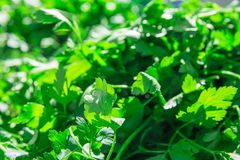 Heap of Fresh Organic Parsley at Farmers Market. Bright Golden Sunlight Highlights. Vibrant Colors. Summer Spring Atmosphere Royalty Free Stock Photos