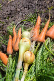 Heap of fresh, organic vegetables carrots, onion dill on field. Stock Photography