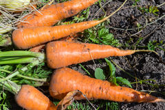 Heap of fresh, organic vegetables carrots, onion dill on field. Royalty Free Stock Photography