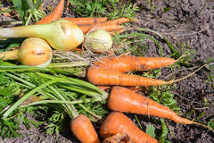 Heap of fresh, organic vegetables carrots, onion dill on field. Royalty Free Stock Photo