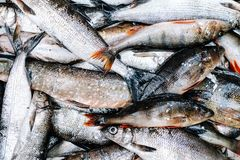 Heap of river fish perch, pike, whitefish Royalty Free Stock Images