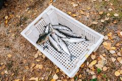 Heap of river fish perch, pike, whitefish Stock Photo
