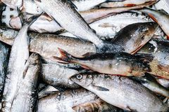 Heap of river fish perch, pike, whitefish Royalty Free Stock Photos