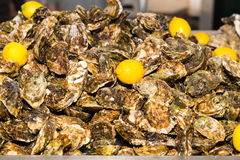 Heap of freshly harvested marine oysters Royalty Free Stock Photography