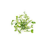 Heap of green pea sprouts, micro greens on white background. Healthy eating concept of fresh garden produce organically Royalty Free Stock Image