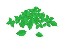 Heap of Holy Basil Leaves on White Background Stock Photos