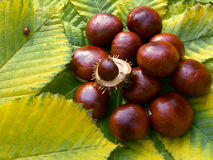 Heap of horse-chestnuts Stock Images