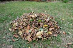 A heap of leaves swept together with a rake on a meadow in the garden. the leaves go into a bucket stock photography