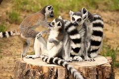 Heap of lemurs Stock Photography