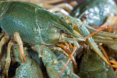 Heap live crayfish Royalty Free Stock Images