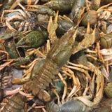 Heap of live crayfish Royalty Free Stock Photos