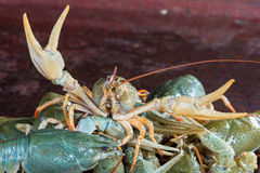 Heap live crayfish Royalty Free Stock Photos