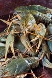 Heap live crayfish Stock Photography