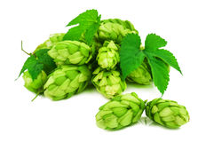 Heap of lush, green hops Stock Image
