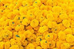 Heap of Marigold flowers Stock Photography