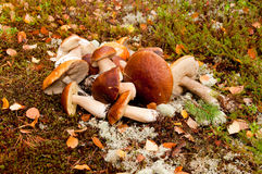 Heap of mushrooms Royalty Free Stock Photo